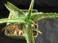 Aloe suffulta